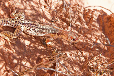 Photograph - Desert Lizard by David Arment