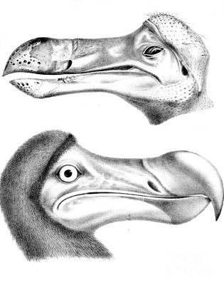 Dodo Bird, Hunted To Extinction Art Print by Biodiversity Heritage Library