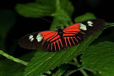Photograph - Doris Longwing Butterfly by JT Lewis