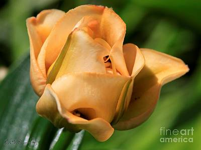 Photograph - Double Asiatic Lily Named Apricot Fudge by J McCombie
