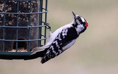 Downy Woodpecker Art Print by Annie Babineau