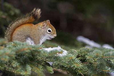 Eastern Grey Squirrel Photograph - Eastern Grey Squirrel  Sciurus by Philippe Henry