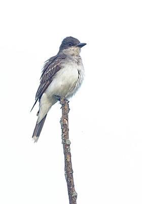 Photograph - Eastern Kingbird by Jim Zablotny