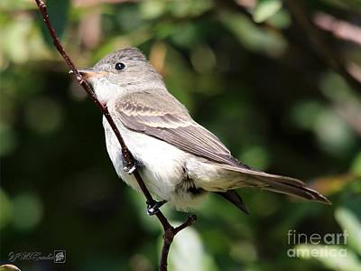 Photograph - Eastern Wood-pewee by J McCombie