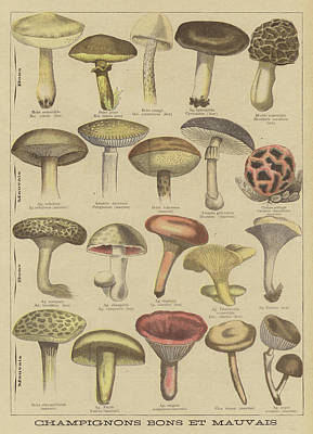 Vegetables Drawing - Edible And Poisonous Mushrooms by French School