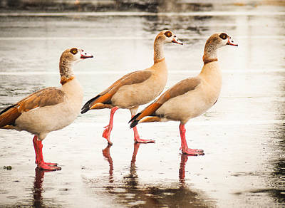 Photograph - 3 Egyptian Ducks In The Rain by Robin Zygelman