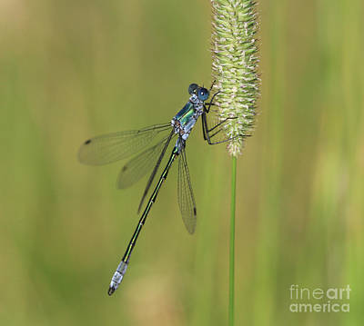 Photograph - Emerald Spreadwing by Gary Wing