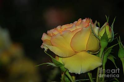 Photograph - Eureka Rose by Glenn Franco Simmons