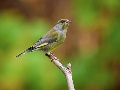 Photograph - European Greenfinch by Jouko Lehto