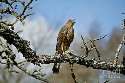 Sparrowhawk Photograph - European Sparrowhawk Accipiter Nisus by Gerard Lacz