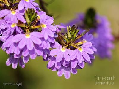Photograph - Fan Flower Named Whirlwind Blue by J McCombie