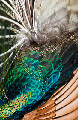 Photograph - Feathers Of The Green Peafowl by Winston D Munnings