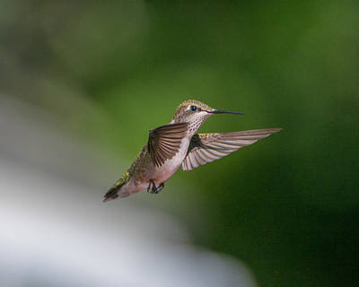 Photograph - Female Ruby Throated Hummingbird by Brenda Jacobs