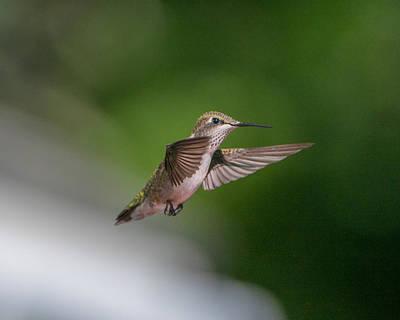 Female Ruby Throated Hummingbird Art Print by Brenda Jacobs
