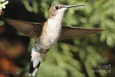 Painting - Female Ruby-throated Hummingbird In Flight by J McCombie