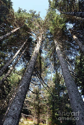 Photograph - Fir Trees Forest by George Atsametakis