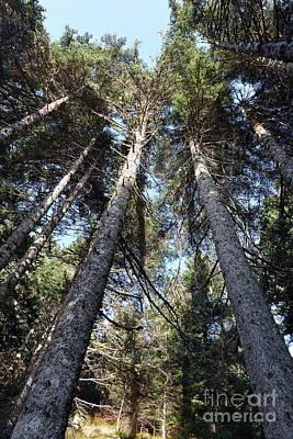 Photograph - Fir Trees Forest by George Atsametakis