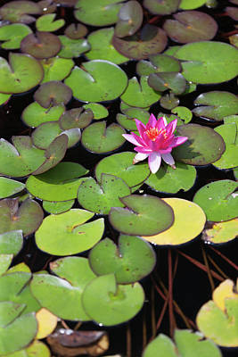 Photograph - Flowering Water Lily by Bernard Lynch