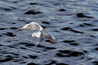Photograph - Flying Gull by Michal Boubin