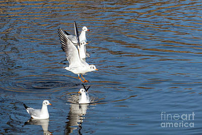 Photograph - Flying Seagulls by Odon Czintos