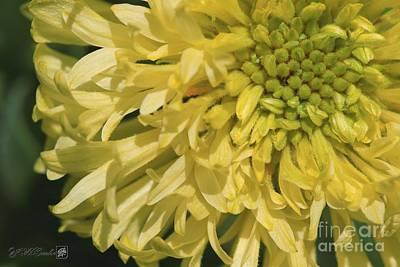 Photograph - Gaillardia Pulchella Named Sundance Yellow by J McCombie