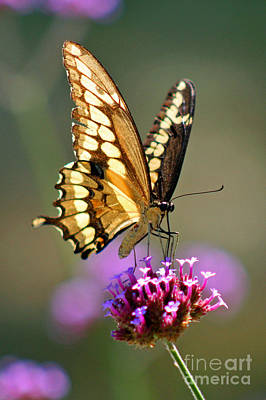 Photograph - Giant Swallowtail Butterfly by Karen Adams