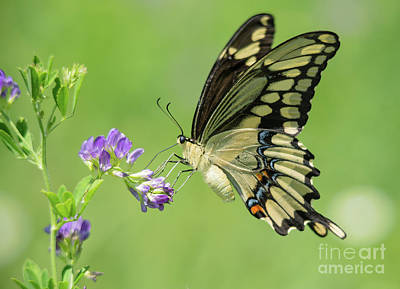 Photograph - Giant Swallowtail by Cheryl Baxter