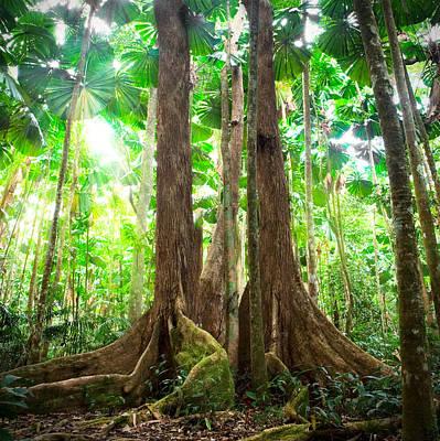 Gigantic Trees In Fan Palm Forest Art Print