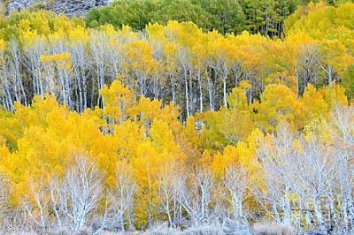 Photograph - Golden Aspens by Frank Townsley