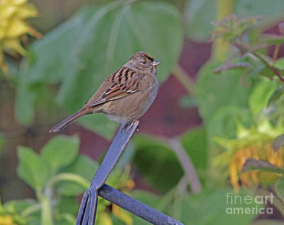 Golden-crowned Sparrow Photograph - Golden-crowned Sparrow by Gary Wing