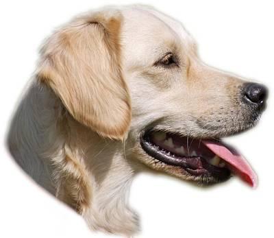 Dogs Photograph - Golden Retriever Portrait by George Atsametakis