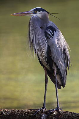 Photograph - Great Blue Heron by Bruce J Robinson