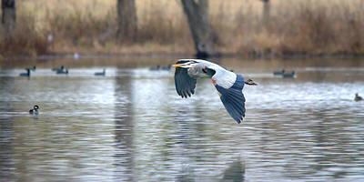 Great Blue Heron In Flight Over The Lake Art Print