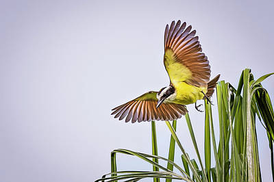 Photograph - Great Crested Flycatcher by Peter Lakomy