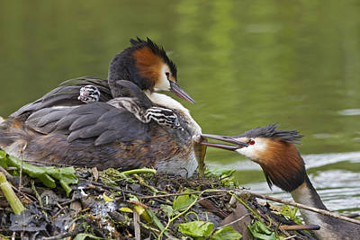 Feeds Chicks Photograph - Great Crested Grebes Feeding Chick by Dickie Duckett
