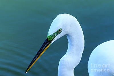 Photograph - Great Egret by Ben Graham