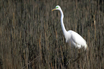 Photograph - Great Egret Port Jefferson New York by Bob Savage