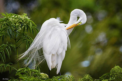 Photograph - Great Egret Preening by Fran Gallogly