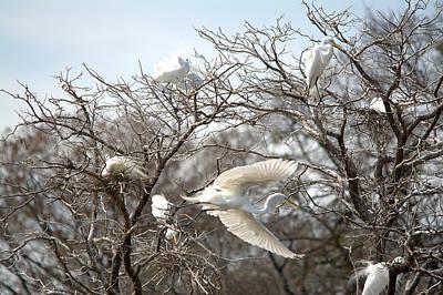 Great Egrets Building Nests Art Print