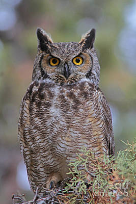 Gold Photograph - Great Horned Owl by Gary Wing