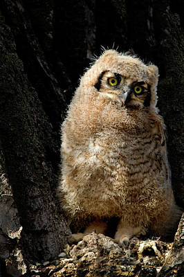 Photograph - Great Horned Owlet by Dawn Key
