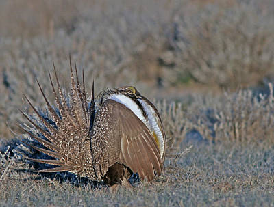 Yellow Photograph - Greater Sage-grouse by Gary Wing