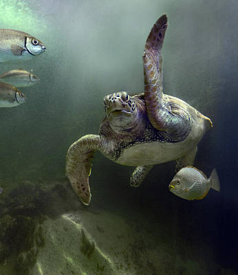 Green Sea Turtle Chelonia Mydas Art Print by Tim Fitzharris