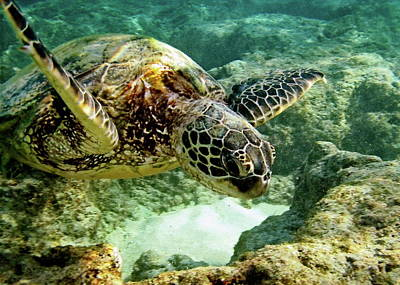 Honu Photograph - Green Sea Turtle by Michael Peychich