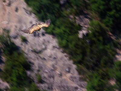 Photograph - Griffon Vulture Flying, Drome Provencale, France by Elenarts - Elena Duvernay photo