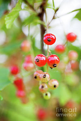 Photograph - Growing Red Currant by Kati Finell