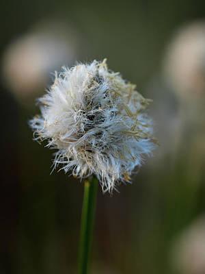 Photograph - Hare's-tail Cottongrass by Jouko Lehto