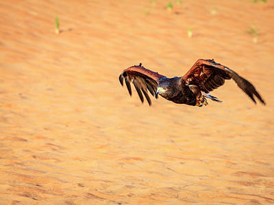 Photograph - Harris Hawk by Alexey Stiop