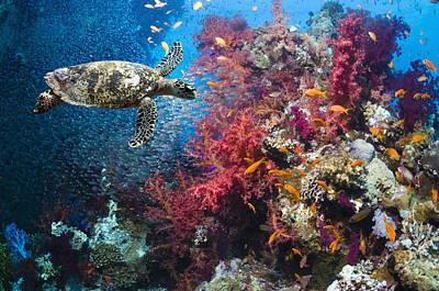 Undersea Photograph - Hawksbill Turtle by Georgette Douwma
