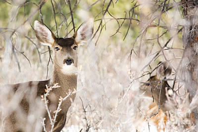 Steve Krull Royalty-Free and Rights-Managed Images - Herd of Mule Deer in Deep Snow by Steve Krull